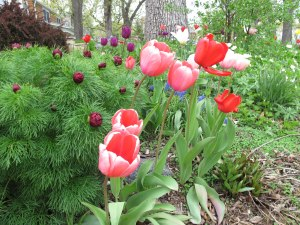 Tulips. I'm still waiting for these, too.